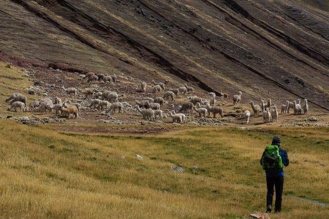 montagne-del-perù-alpaca-al-pascolo