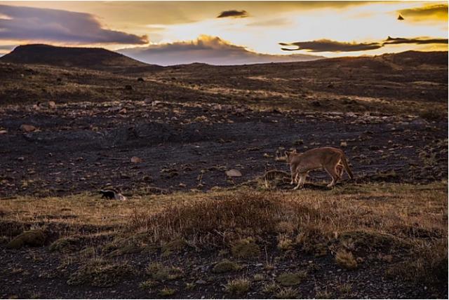 torres-del-paine-incontro-con-puma-viaggio-in-patagonia-cilena